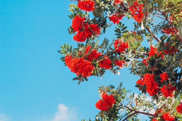 Bright rowan berries on a tree against blue sky