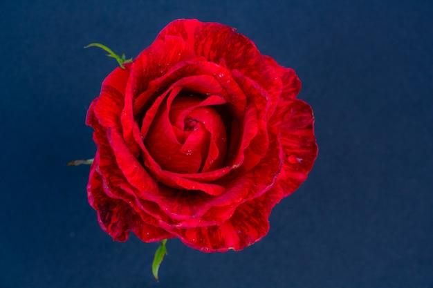텍스트 복사 공간을 위한 검정색 배경 공간에 밝은 주홍 장미