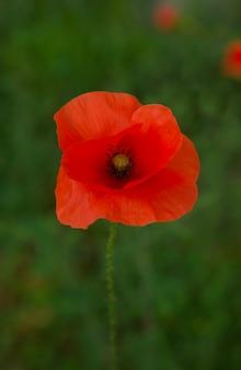 明るい単一の赤いポピーの花