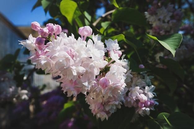 Яркий весенний цветочный фон. цветущая ветка сирени в саду весной, крупным планом, мягкий фокус