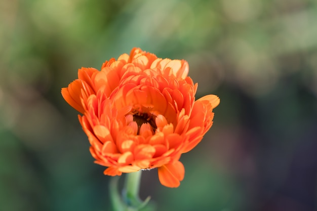 成長する花カレンデュラ、マリゴールと明るい夏の背景