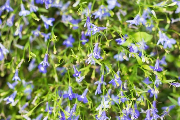 Яркий, летний цветочный фон из маленьких синих цветков.