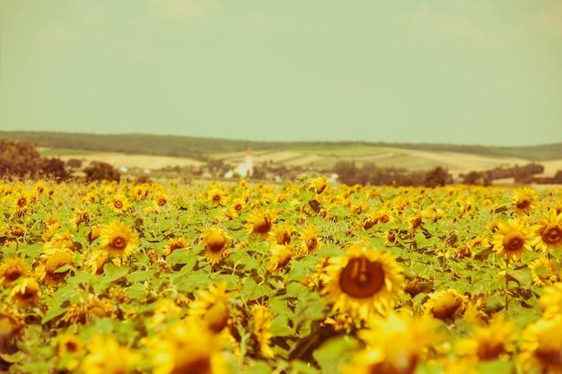 밝은 여름 해바라기 밭. 수평 필터링된 샷