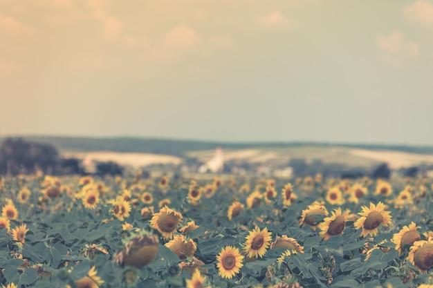 밝은 여름 해바라기 밭. 수평으로 필터링된 샷