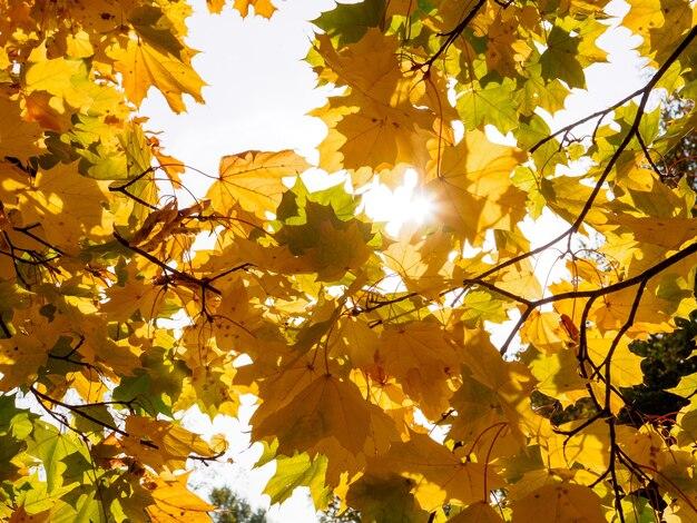 Яркие солнечные лучи пробиваются сквозь желтые кленовые листья