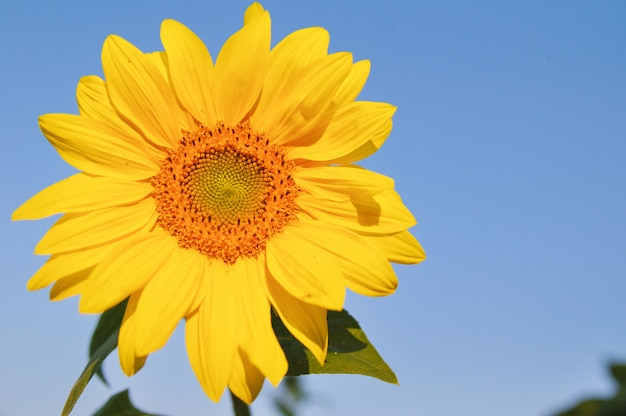 Bright sunflower closeup on blue sky background in autumn