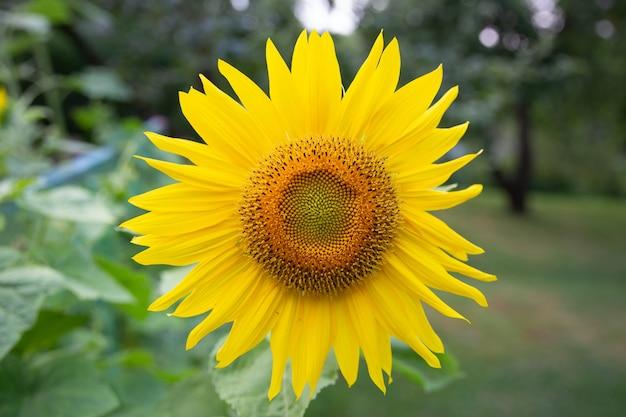 明るいひまわりの花のクローズアップ