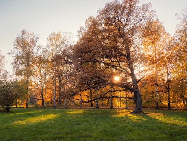 緑の牧草地に大きな黄色の樫の木がある明るく晴れた秋の風景。ソフトフォーカス。