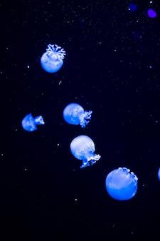 Bright transparent neon jellyfish in the aquarium