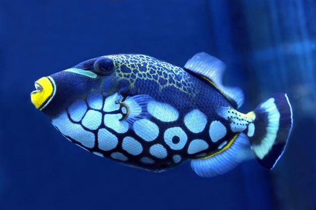 Яркие триггерные рыбы крупным планом