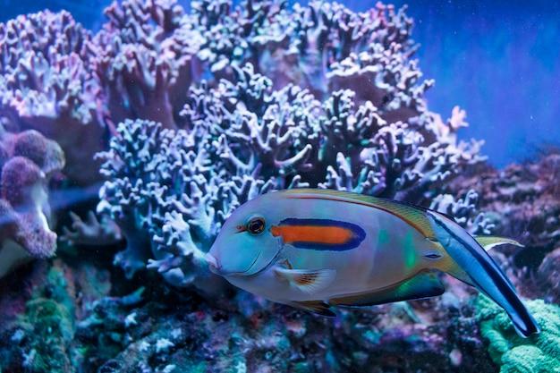 サンゴ礁の明るい熱帯魚。大きな魚の群れが水中を泳いでいます。美しいアクアの背景、海底、海の背景。水族館の魚の群れ