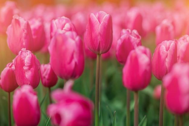 ソフトフォーカスの明るいチューリップ、庭の春の花のクローズアップ。鮮やかなピンクバイオレットのチューリップの花。