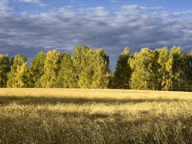 Bright wheat field on the background of the forest and cloudy sky