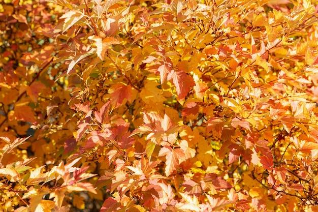 Ярко-желтые и оранжевые осенние листья на кусте освещены ярким солнечным светом.