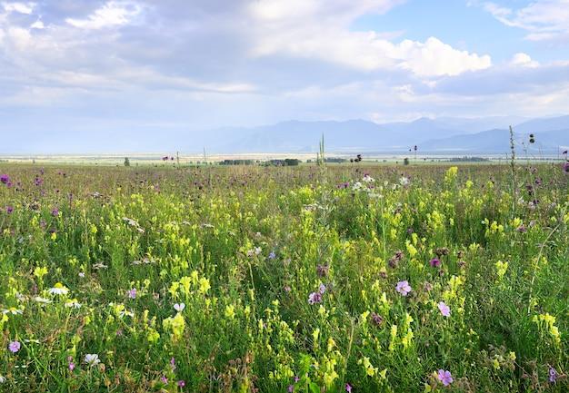 青い曇り空の下で霞んで山を背景に緑の牧草地に明るい黄色と紫の花。アルタイ、シベリア、ロシア