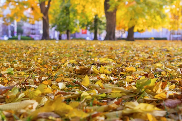Bright yellow autumn leaves on the ground in the park. golden autumn.