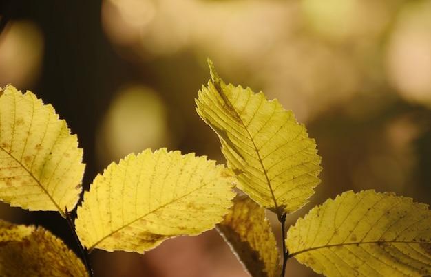 Bright yellow autumn leaves under sunlight. fall seasonal background