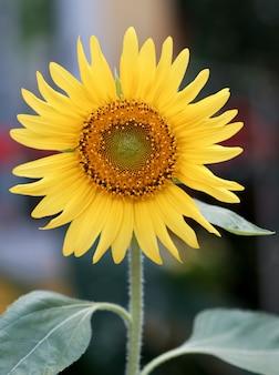 Bright yellow blooming sunflower. close up sunflower.