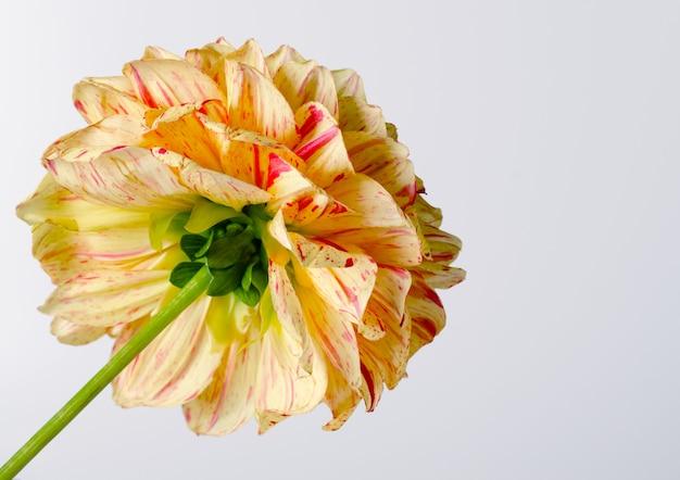 Bright yellow dahlia against white