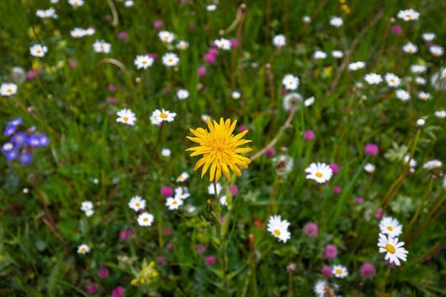 Ярко-желтый цветок на альпийском лугу в итальянских доломитах летом