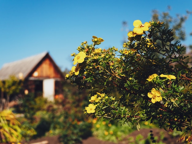 Bright yellow flowers on the background of a wooden house and blue sky in the village