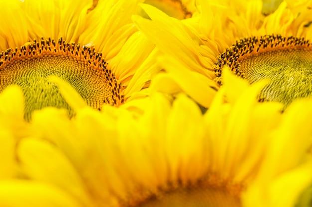Ярко-желтые цветы подсолнечника крупным планом осенний фон с урожаем сельскохозяйственных культур