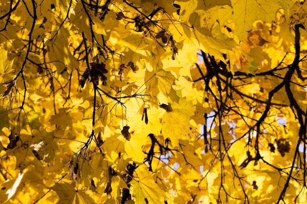 秋のカエデの鮮やかな黄色の葉、木の枝の細部がクローズアップ、太陽の光に照らされて