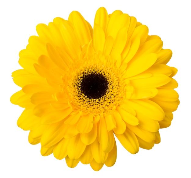 Ярко-желтый цветок герберы ромашки изолировать на белом фоне