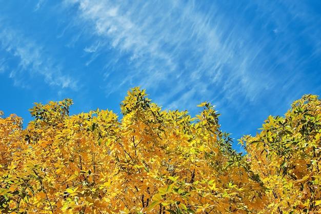 明るい黄色のカエデの葉が雲のある青い空を背景にしています。