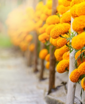 Bright yellow marigold flowers,and copy space