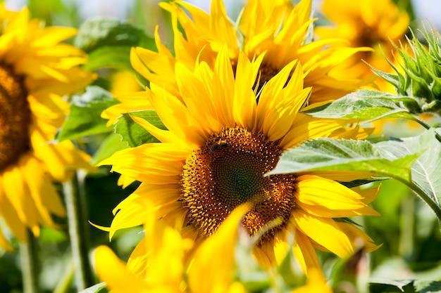 Ярко-желтые лепестки на желтых подсолнухах