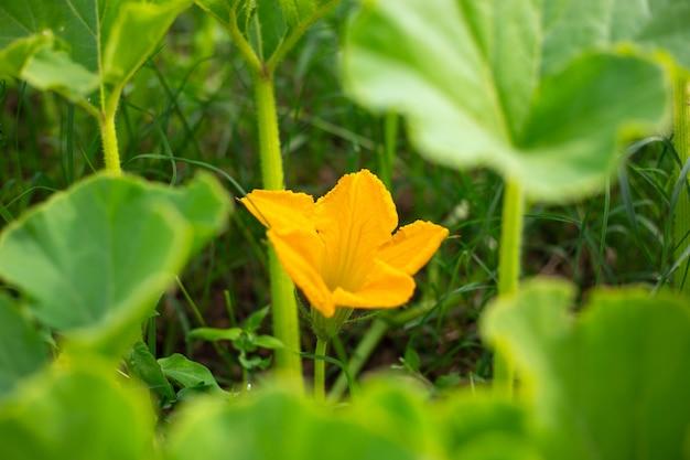 茂みに明るい黄色のカボチャの花。野菜の栽培と世話。