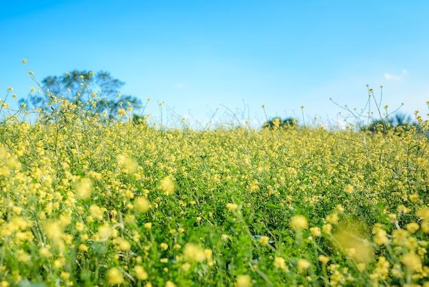 화창한 봄날의 밝은 노란색 유채 밭