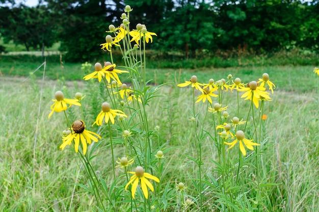 정원에 있는 밝은 노란색 루드베키아 또는 블랙 아이드 수잔 꽃
