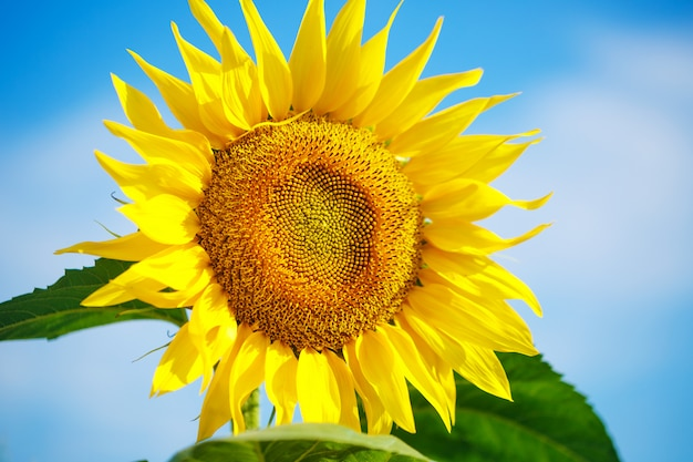 Bright yellow sunflower against a blue sky with clouds