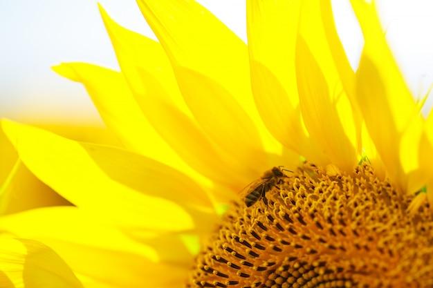 夏の日のフィールドに明るい黄色のヒマワリの花のクローズアップ