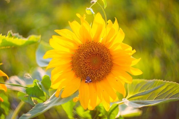 나방이 있는 밝은 노란색 해바라기 꽃. 여름 햇살 가득한 풍경, 선택적 초점.