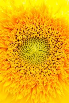 太陽の下で明るい黄色のヒマワリ