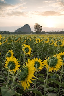 Bright yellow sunflower at wat khao jeen lae, lopburi, thailand
