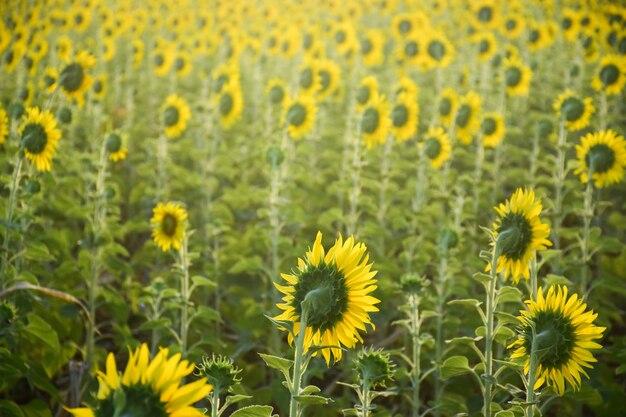 Bright yellow sunflower at wat khao jeen lae, lopburi, thailand