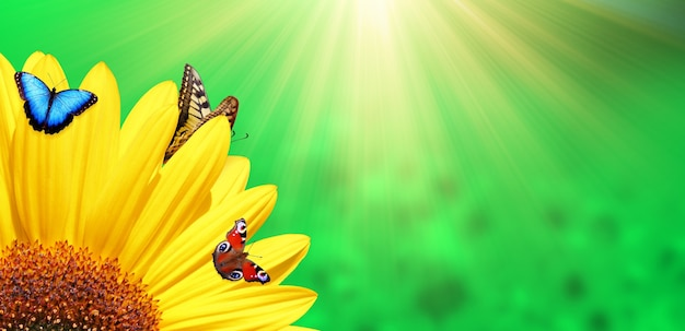 Bright yellow sunflower with butterfly on a sunny summer morning.