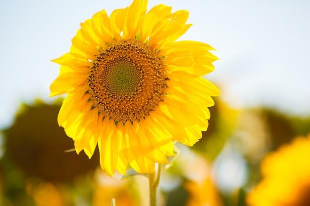 Ярко-желтые подсолнухи в солнечный летний день