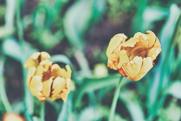 明るい黄色のチューリップの花がクローズアップ