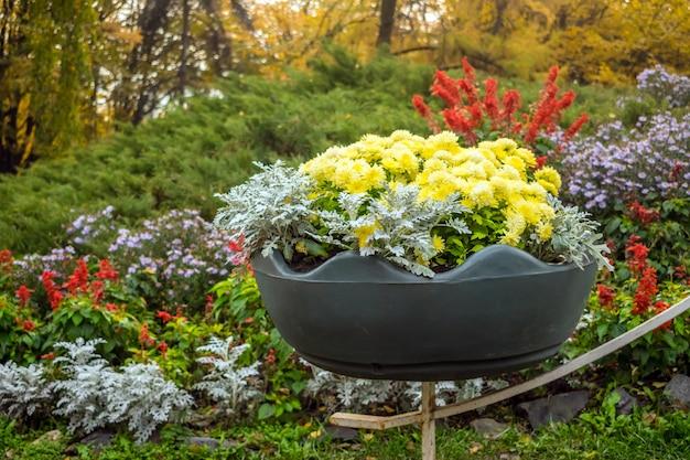 Bright yellow varietal chrysanthemums in a big pot