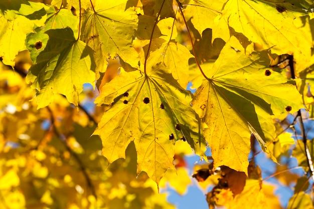 明るい黄ばみと日光に照らされたカエデの葉は秋の季節に