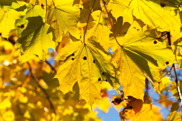 Bright yellowed and illuminated by sunlight maple leaves in autumn season