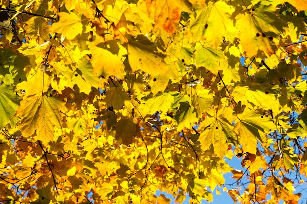 Bright yellowed and illuminated by sunlight maple leaves on a tree in autumn season