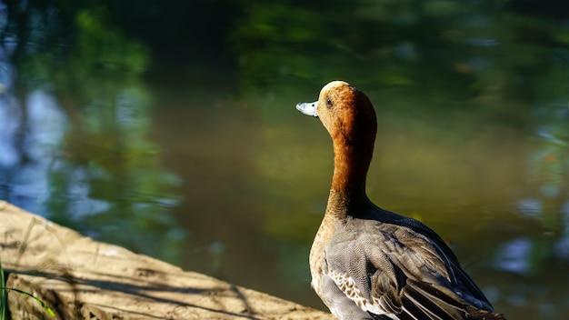 해질녘 호수에서 쉬고 있는 밝은 색의 오리.