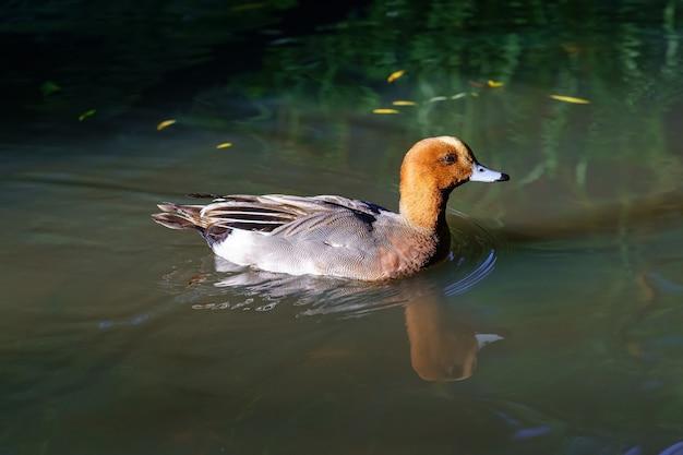 해질녘 호수에서 침착하게 헤엄치는 밝은 색의 오리.