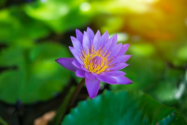 Brightly colored water lily floating on a pond